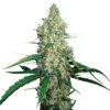 G13 Haze Feminised MarijuanaSeedCity