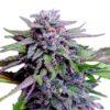 grandaddy purple feminised cannabis seeds marijuana weed thc bud seedbank