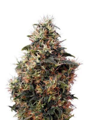 Mango Kush Autoflower